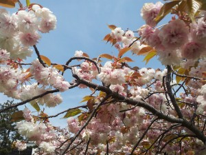 Cherry Blossom - Japan - 2013